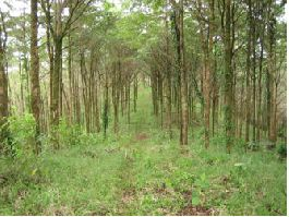Unbeatable Price, 1.410 hectares Teak-Farm in the San Carlos region