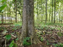 Teak farm with 38 ha in Parrita for sell