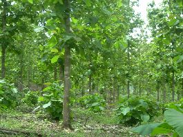 Teak Farm for sale in the mountains of the Nicoya Peninsula at Playa Carrillo beach
