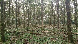 Teak farm of the 112 ha Guatuso-San Ramon for sale